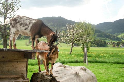 Tiere - Bauernhofurlaub in Flachau, Salzburg